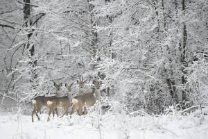 Игорь Шпиленок запечатлел красоту зимнего брянского леса