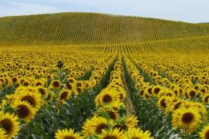 В 11 районах Брянской области выращивают подсолнечник