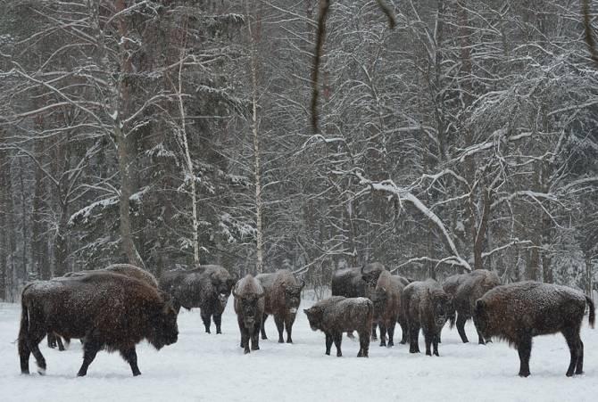 В гостях зубров в «Брянском лесу» побывали 350 экскурсантов
