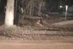 В Карачеве к общежитию пришла дикая лиса