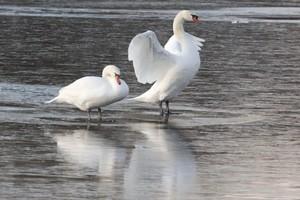 В Суземском районе лебеди «вмерзли» в лед