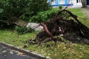 В Брянске на улице Костычева ураган с корнем вырвал дерево