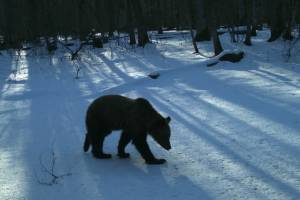 В брянском лесу после зимней спячки проснулись медведи