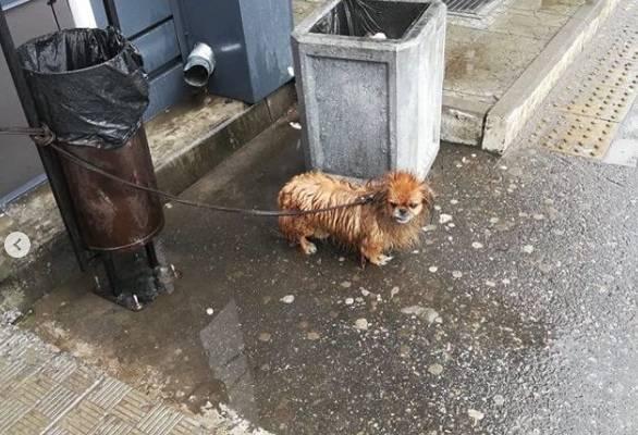 В Брянске старого пекинеса привязали к мусорке у «Магнита» и бросили под дождем