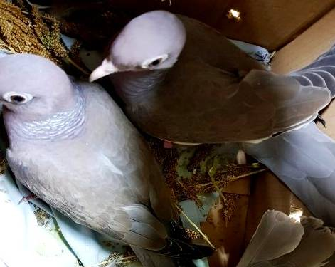 Молдованин пытался провезти через Брянск 4 живых голубя