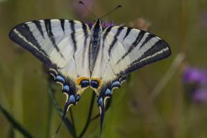 Редчайшую бабочку обнаружили в заповеднике «Брянский лес»