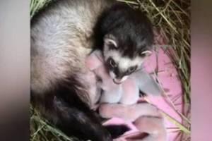 В зоопарке на Кургане Бессмертия в Брянске родились шиншиллы и хорьки