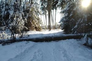 В Дятьково на пешеходную дорожку упало дерево