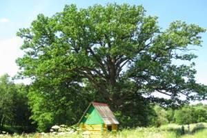 Брянцев просят поддержать партизанский дуб в конкурсе «дерево года»