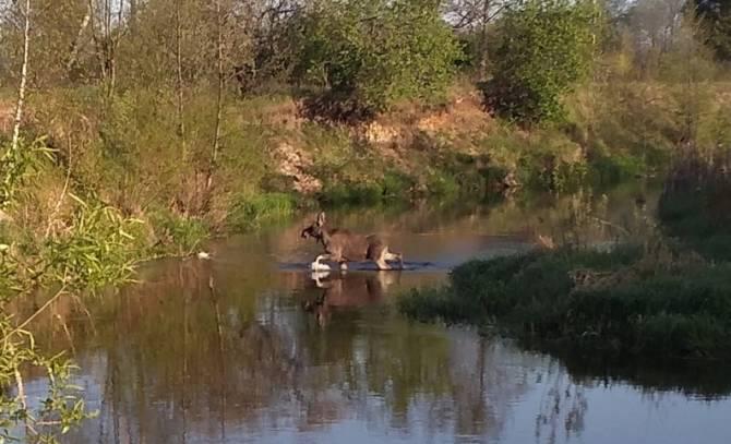 Под Брянском сняли на видео перебегающего реку лося