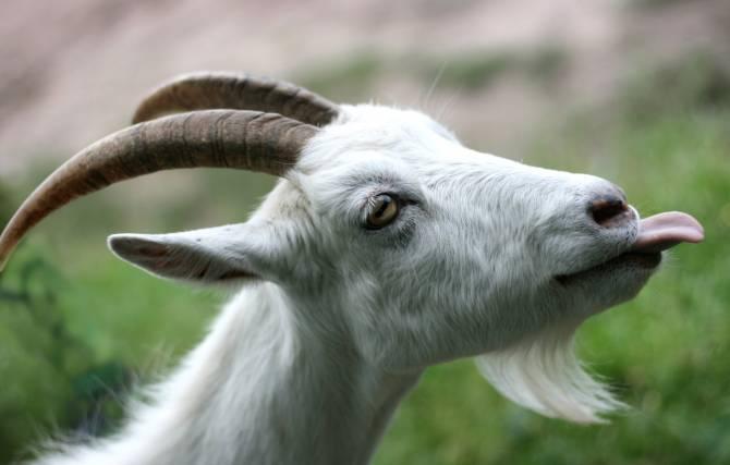 Жители поселка Выгоничи столкнулись с «козлиным» беспределом